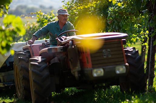 Vendemmia Collis 2020: l'equilibrio grazie alla viticoltura di precisione